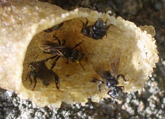 Madu Lebah Kelulut Sedap