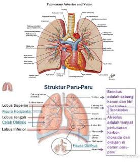 Proses kerja paru paru ditubuh manusia