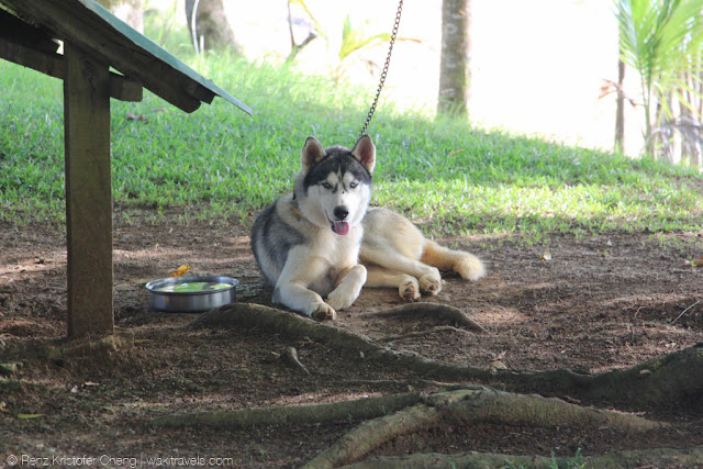 Not so sure if Siberian Husky