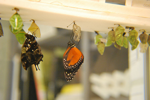 Butterflies emerging from chrysalis at Peggy Notbaert Museum.