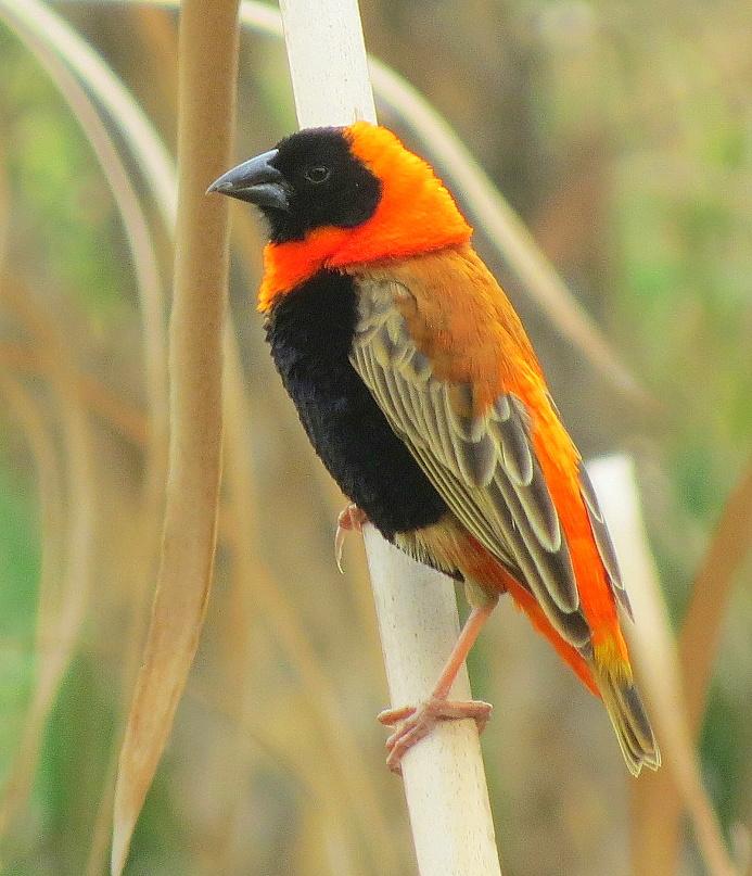 Birding For Pleasure: WILD BIRD WEDNESDAY - Southern Red ...