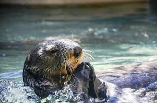 Cara Menghilangkan Bau Otter
