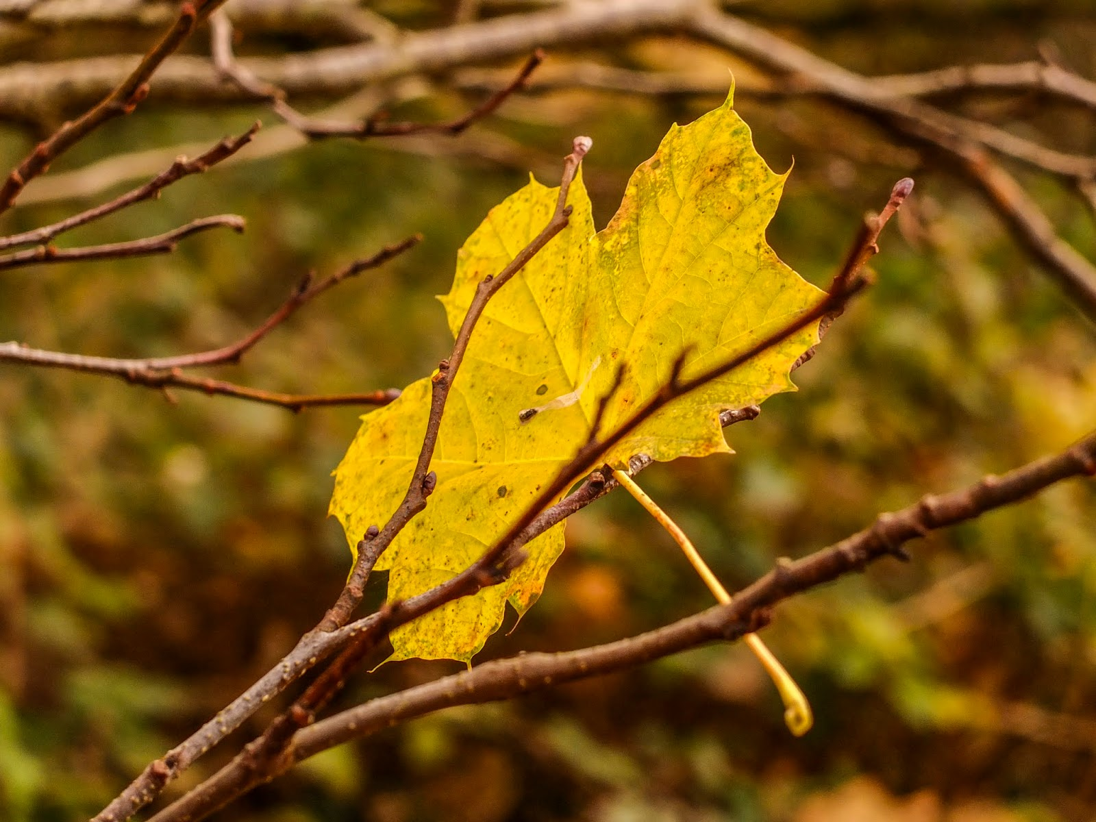 A yellow Maple tree leaf stuck in the branches.