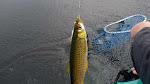Làm mồi nhậy câu cá Rói sông