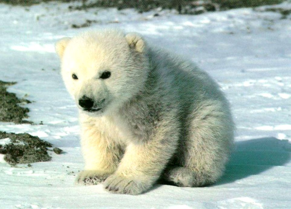 Cute Baby Polar Bear Wallpaper Metro Wallpapers