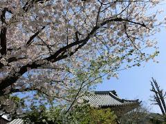 本覚寺のソメイヨシノ