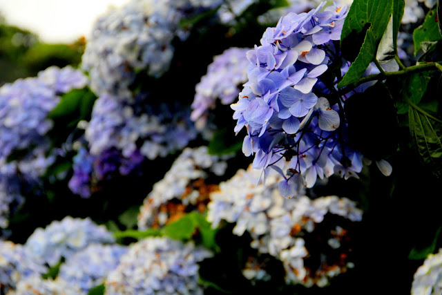 大梯田花卉生態農園 繡球花