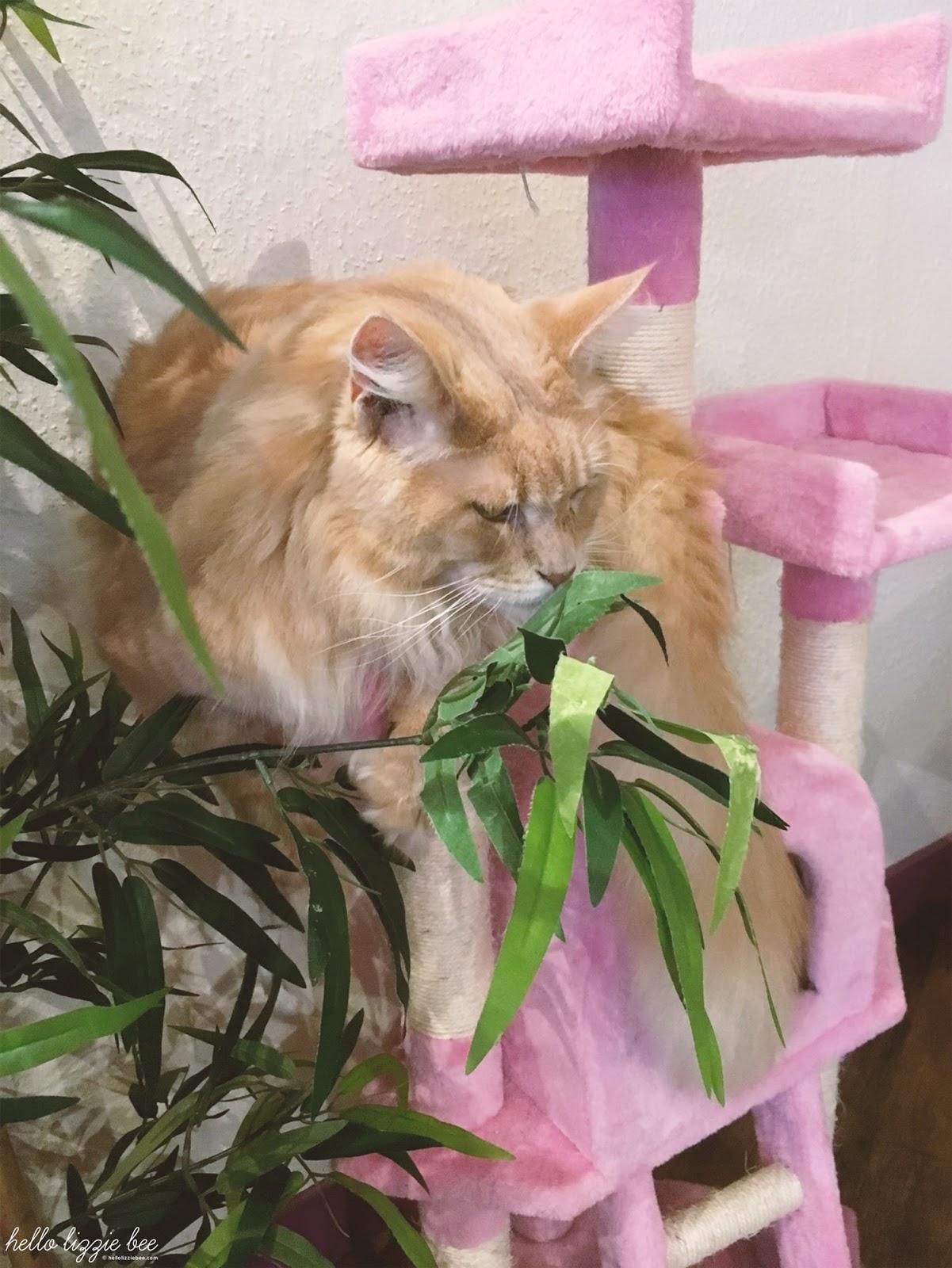 heathcliffe, mancoon cat