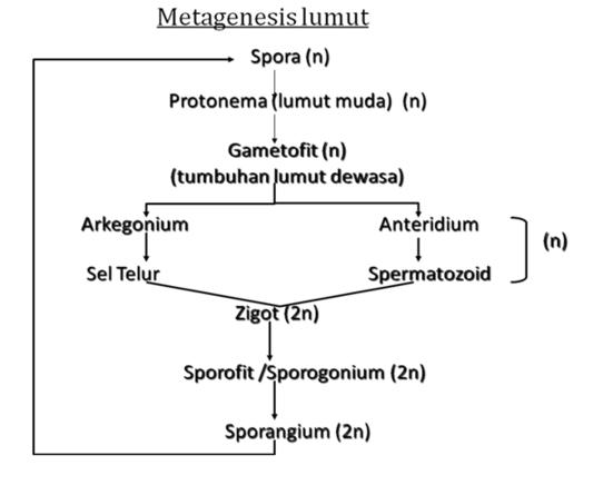 metagenesis lumut