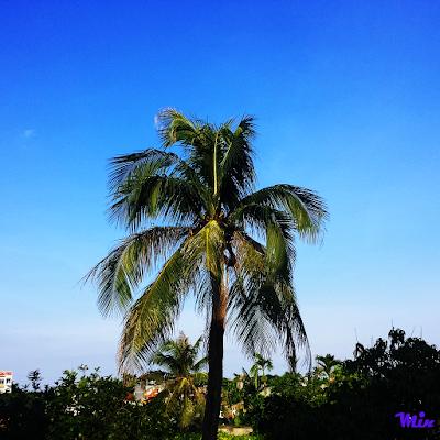 Cây dừa trên đồi Thiên Văn