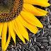 ما هي فوائد بذور دوار الشمس