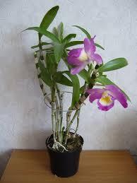 Tanaman Hias Dendrobium