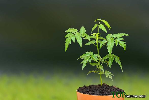 Tại sao phương pháp trị mụn bằng bột neem nhanh nhất thế giới?