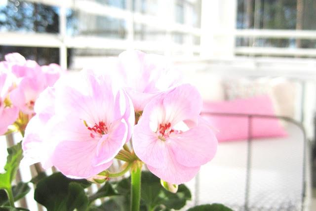kukka, pelargonia