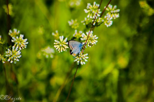 Пеперуда-Buterfly