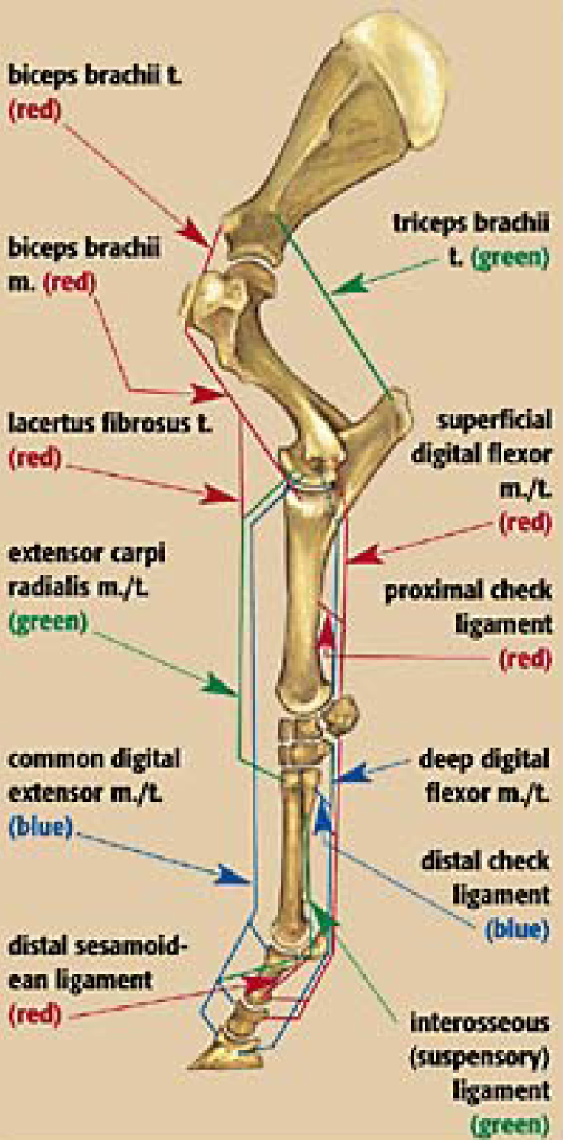 Equine Limb Diagram - All Kind Of Wiring Diagrams •