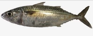 Definisi dari ikan pelagis ialah ikan yang hidupnya bergerombol atau berkelompok yang hi Ikan Pelagis Jenis dan Ciri Cirinya