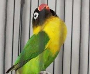 Mencari Cara Setting Lovebird Paud/Balibu Agar Konslet Di Lapangan Lomba