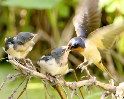 Barn Swallow Feeding Chicks