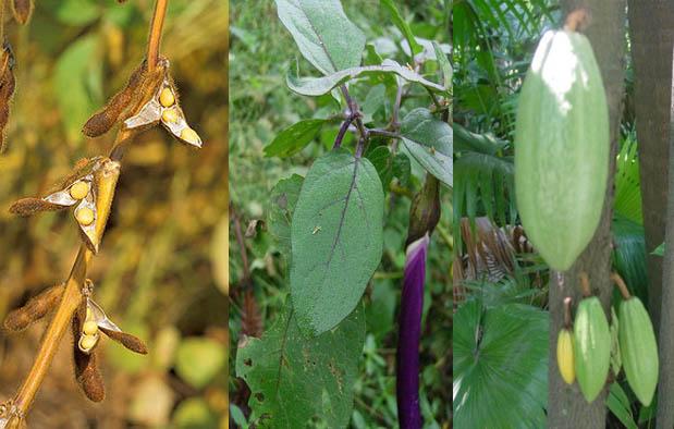 Contoh Tumbuhan Dikotil dan nama latinnya