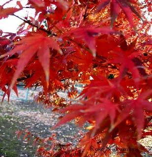 folhas de outono no Japão