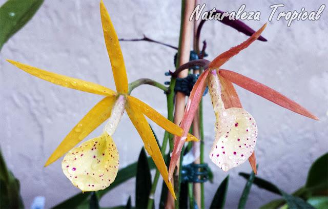 Variedad híbrida de orquídea del género Brassavola donde se observan flores de varios colores