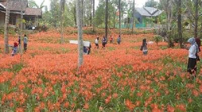 http://news.liputan6.com/read/2376816/kebun-bunga-amirilis-sulap-gunungkidul-jadi-keukenhof-belanda