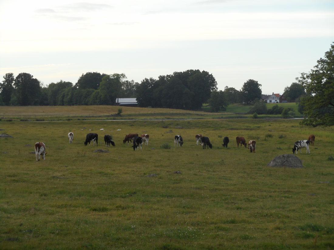 Mucche al pascolo fuori Ovesholm