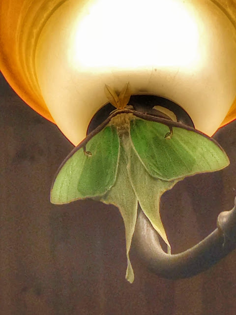 nice Luna Moth got inside the house in Maine, Alice Hendon, we released it back outside
