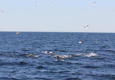 Atlantic white-sided dolphins in Muscongus Bay