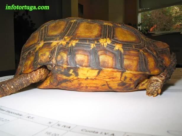 Bell's hinge-back tortoise - Kinixys belliana