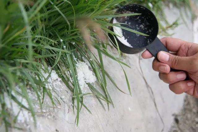 cara membasmi semut secara alami