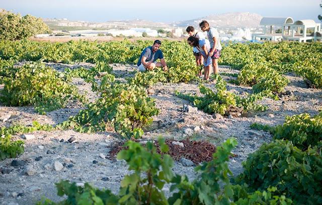 Passeio pelos vinhedos de Santorini