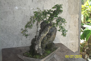 bonsai karang
