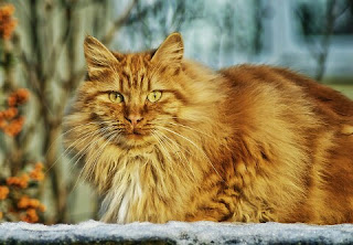 Jenis Kucing Ras Paling Lucu beserta Harga Terbaru, anggora