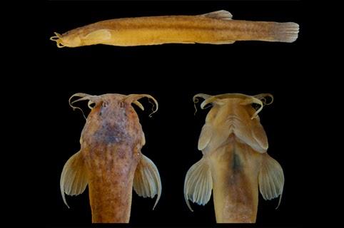 ituglanis boticario, nova espécie de peixe, Mambaí, Goiás, new specie fish Brazil, Natureza, fish, new fish, blog natureza e conservação, nature, animal, fish