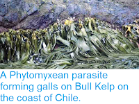 http://sciencythoughts.blogspot.co.uk/2014/05/a-phytomyxean-parasite-forming-galls-on.html