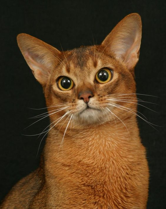 Did You Spot An Abyssinian Cat In Our Streets? | The Pets