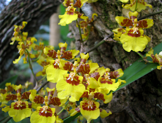 Yellow orchid flowers in Puriscal.
