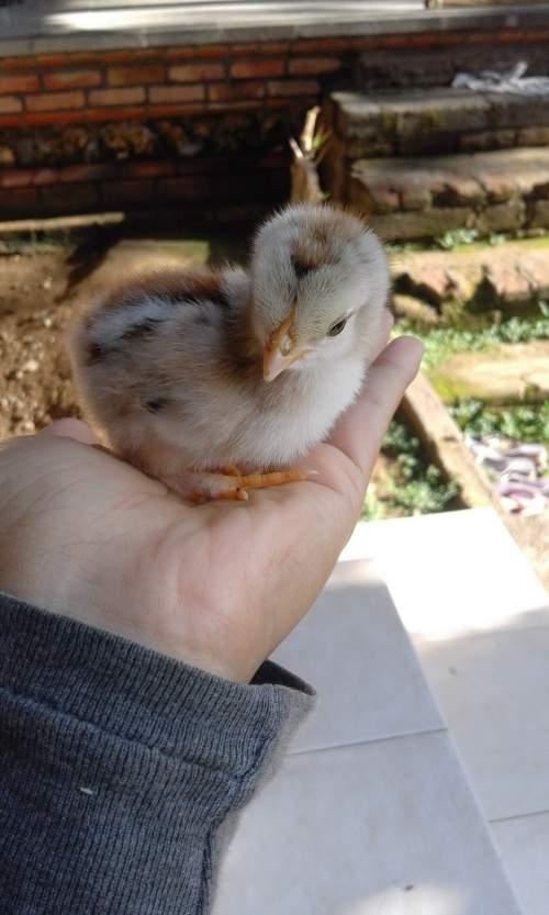 Unduh 5500 Koleksi Gambar Ayam Paling Lucu Paling Lucu