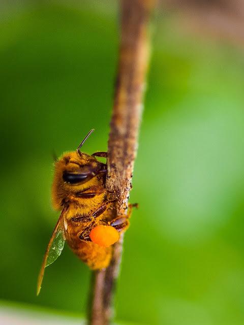 Honingbij met stuifmeelklompje