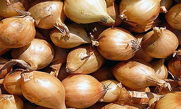 Cebola (Allium cepa)