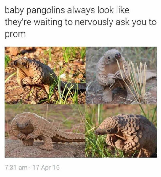 Baby pangolins always look like they're waiting to nervously ask you to prom.