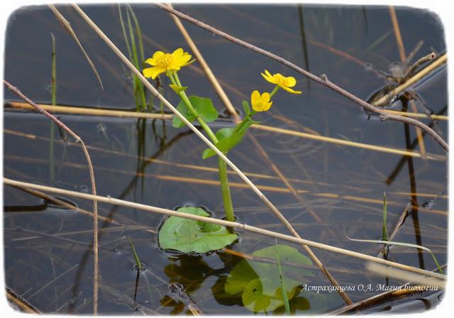 zagadki-pro-vesennie-cvety-dlya-detej-i-vzroslyh-magiya-biologii-калужница-болотная