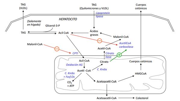 Bioregulación del metabolismo: Bioregulación del..