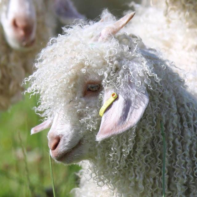 Whistebare Angora goat