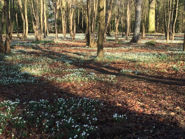 Snowdrop Walk Attingham Park