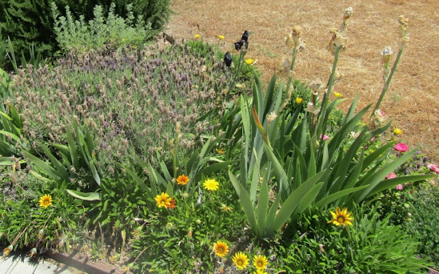 What Blooms in Paso Robles in Early Summer?