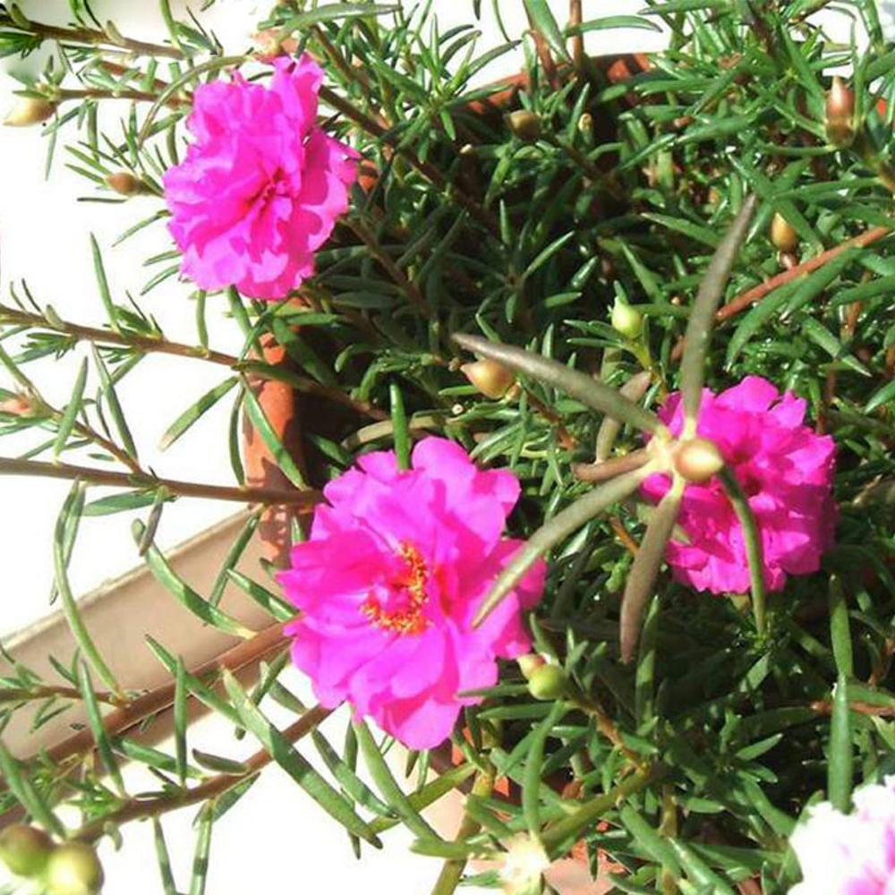 Kumpulan Galeri Gambar Bunga Mawar Pink Merah Muda Cantik Indah Terbaru Gambarcoloring