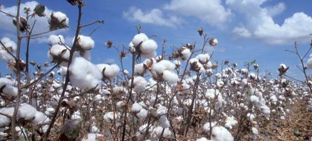 Cotton Farming/Processing Business Plan and Feasibility Study